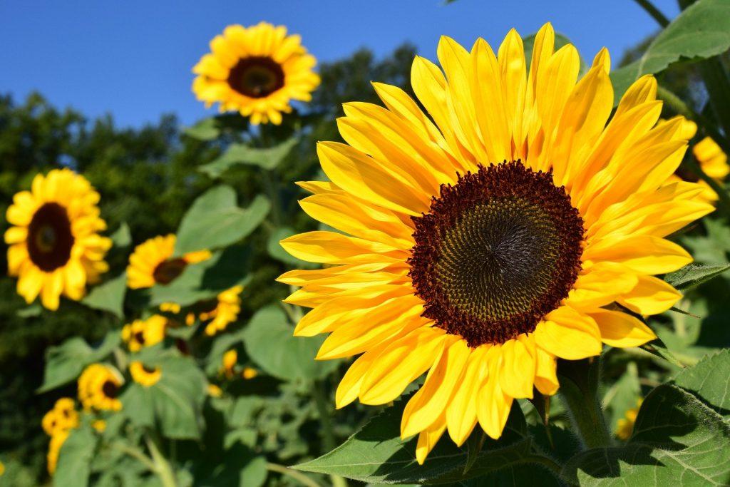 Image d'une fleur de Tournesol